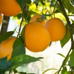 Taronja Navelina de Taula Prod. Ecològica