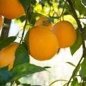 Naranja Navelina de mesa ecológica