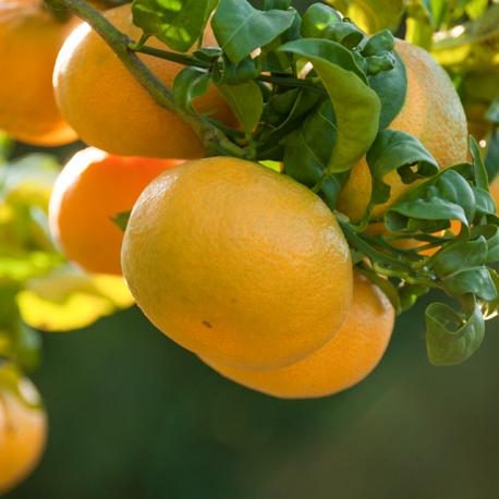 Satsuma Mandarina organic farming