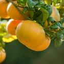 Mandarina Satsuma ecológica
