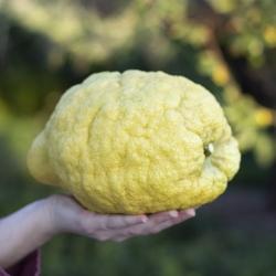 Limón Cidra Ecológico o...