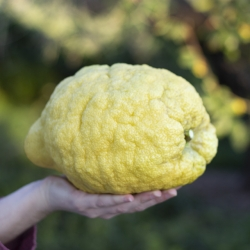 Limón Cidra Ecológico