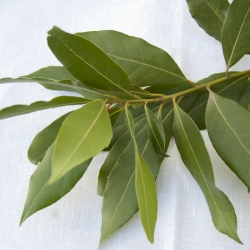 Fulles de Llorer fresc en rama