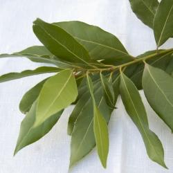 Hojas de Laurel fresco en rama
